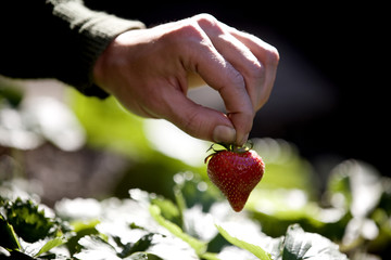 A man picking a strawberry