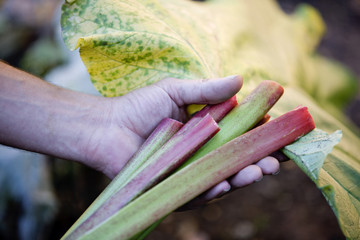 A man holding a bunch of rhubarb, close-up
