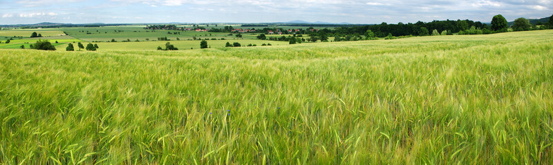 Panorama of green grain field