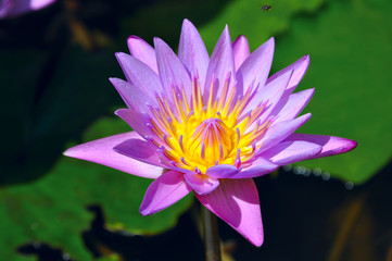 blue lotus or  Nymphaea Caerulea