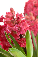 Hyazinthen Hyacinthus orientalis