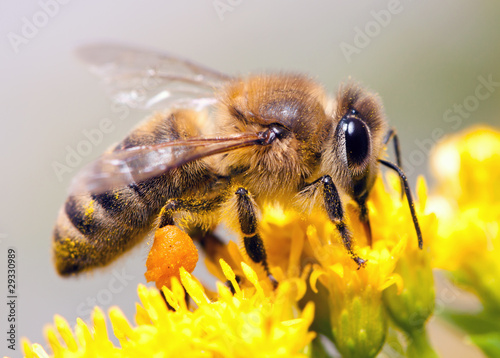 Foto op Aluminium Bee Honey Bee