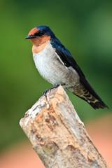 Swallow bird sitting on a branch