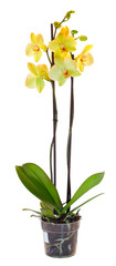 Yellow orchid in a flowerpot. Isolated on white
