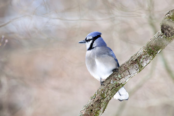 Blue Jay bird on limb