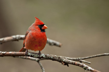 Male Northern  Cardinal sitting on bare limb