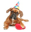Boxer puppy in party cap with red heart on a white backgroud
