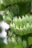 Banana unripe poster