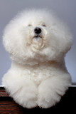 bichon frise looking up poster