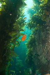 Garibaldi in Kelp, Bird Rock Catalina