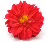 Beautiful Red Dahlia Isolated on White Background