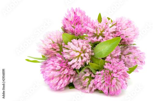 Bouquet of Red Clover Isolated on White Background