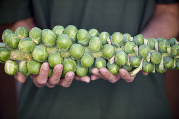 A man holding a stalk of brussels sprouts