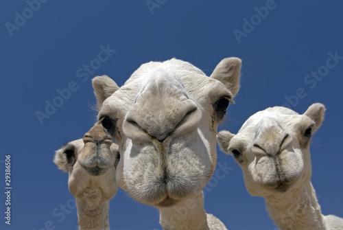Tuinposter Kameel camels