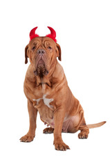Dog of french mastiff breed with red hornes ready for holiday