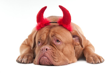 Lying cute Dogue de bordeaux puppy with red horns isolated