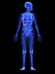 weibliche Anatomie - markierte Gallenblase