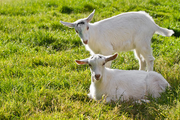 two goat kids in grass