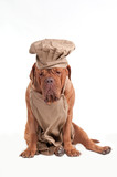 Tired Chef Dogue De Bordeaux with Apron and Chef Hat poster