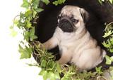 pug purebred puppy poster