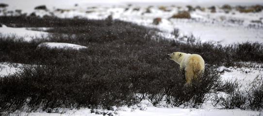 The polar bear sniffs.