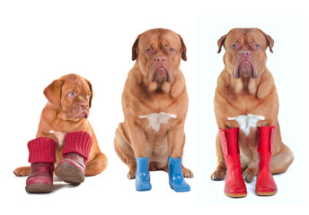 Different ages French Mastiff dogs with boots for all seasons