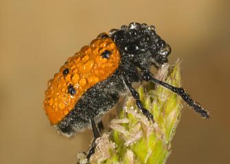 Escarabajo cubierto de rocío(Labidostomis lusitanica)