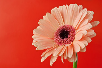 Gerber daisy over red background