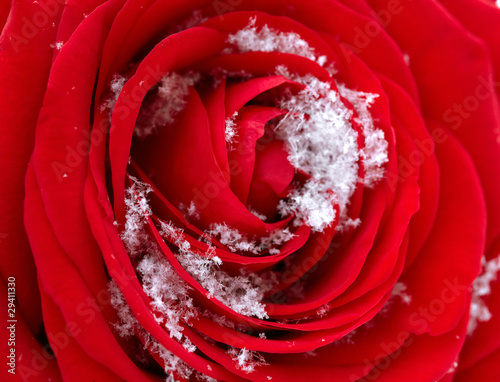 Download Rose In Snow Mobile Wallpaper Mobile Toones