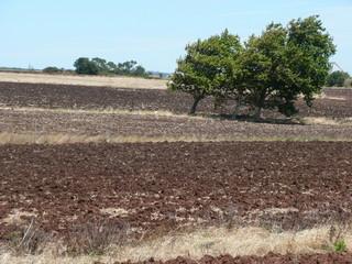 Árvore no campo, em Julho