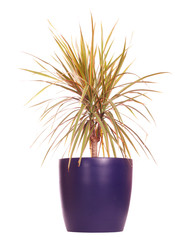 Dracaena plant in pot