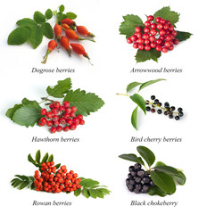 Hawthorn, rowan berry, dogrose,  arrowwood, bird cherry, black c