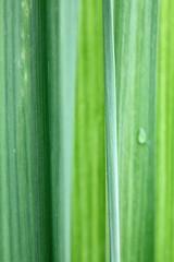 feuilles de cannes à sucre