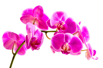 Flower beautiful pink orchid, isolated on white