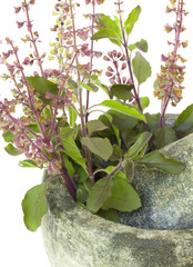Ayurvedic Remedy Holy Basil or Tulsi in a Stone Pestle and Morta