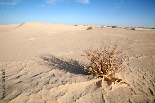 Dead bush in the Sahara, Mauritania.