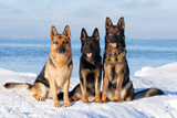 Fototapete Hund - Häusliche - Haustiere