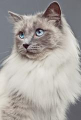 Pedigree Ragdoll Cat