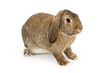 Profile of a Brown Lop-earred Rabbit