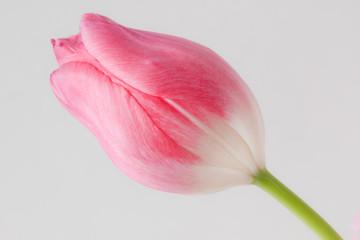 チューリップの花 tulip