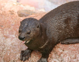 A River Otter, Lutra canadensis, Family Mustelidae poster