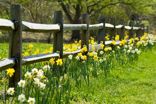 Foto op Aluminium Narcis Daffodil Garden