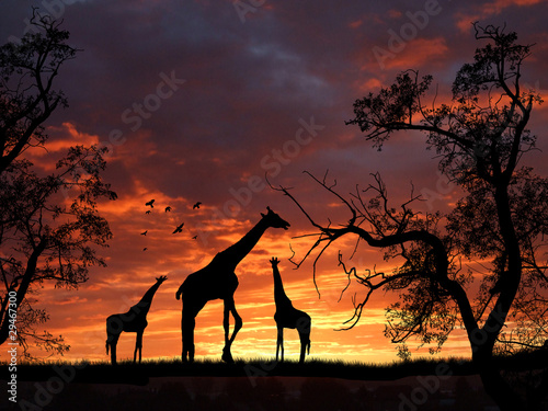 Giraffes on sunset
