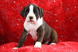 White and Brindle Boxer Puppy poster