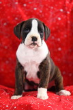 White and Brindle Boxer Puppy Vertical poster