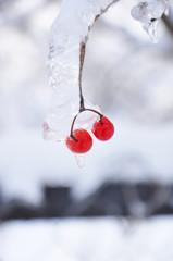 Iced Bunch of Viburnum