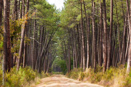 European pine tree forest