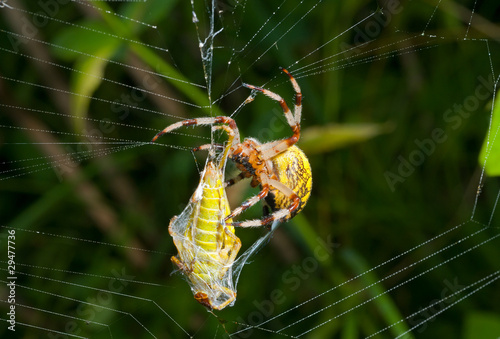 Spider with grasshopper 13