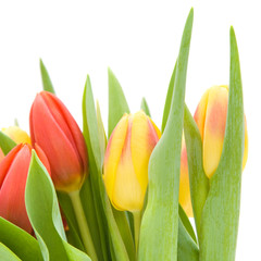 yellow and red variegated tulips flowers