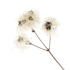 dry seedhead of Clematis vitalba